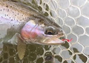 Missouri River Rainbow with Worm