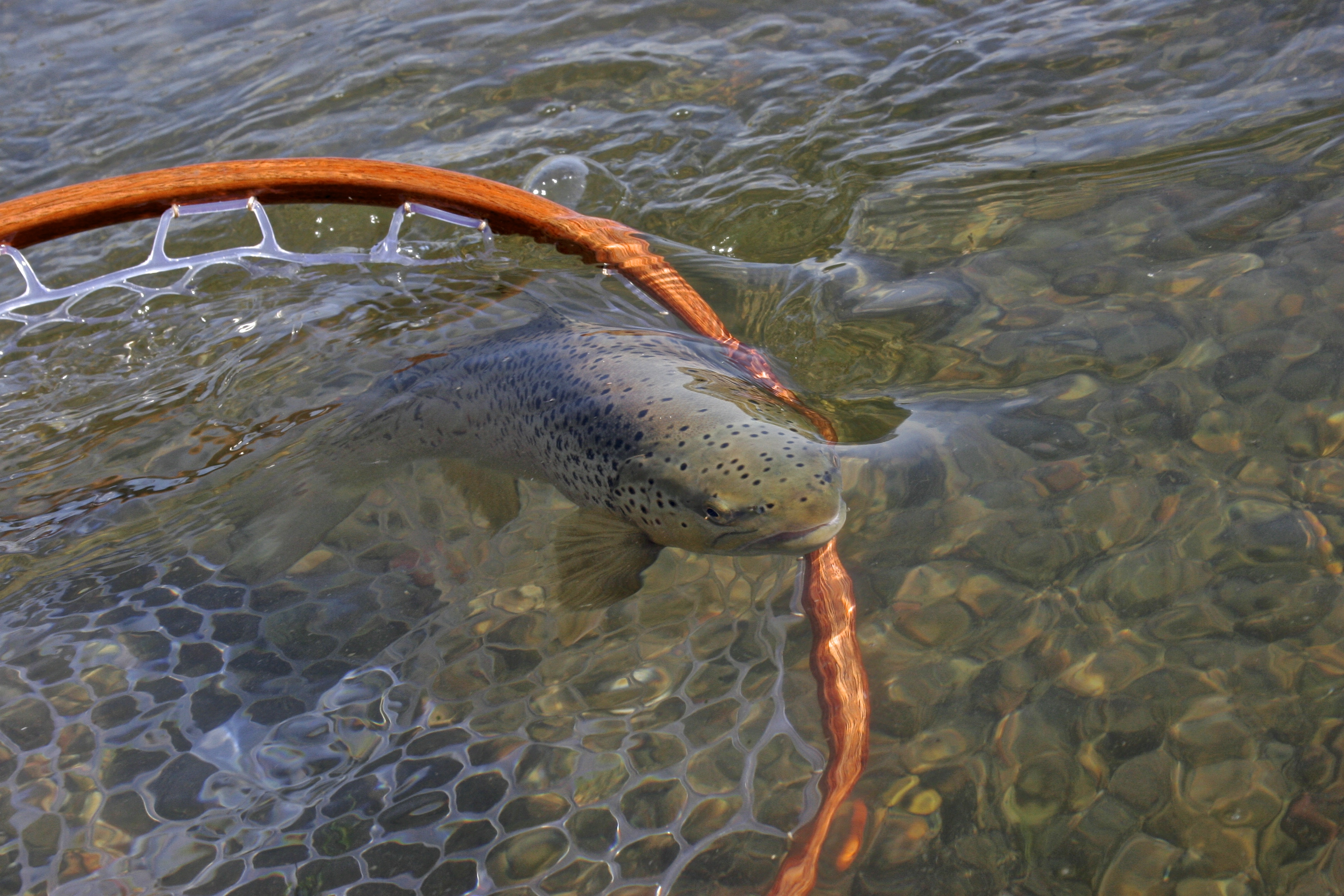 Missouri river fishing report keep em wet edition for Trout fishing in missouri