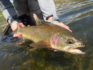 Rainbow Trout on Missouri River