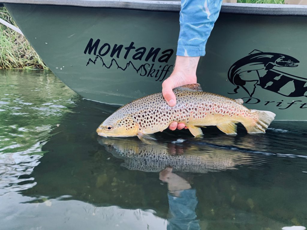 Brown Trout on dry flies