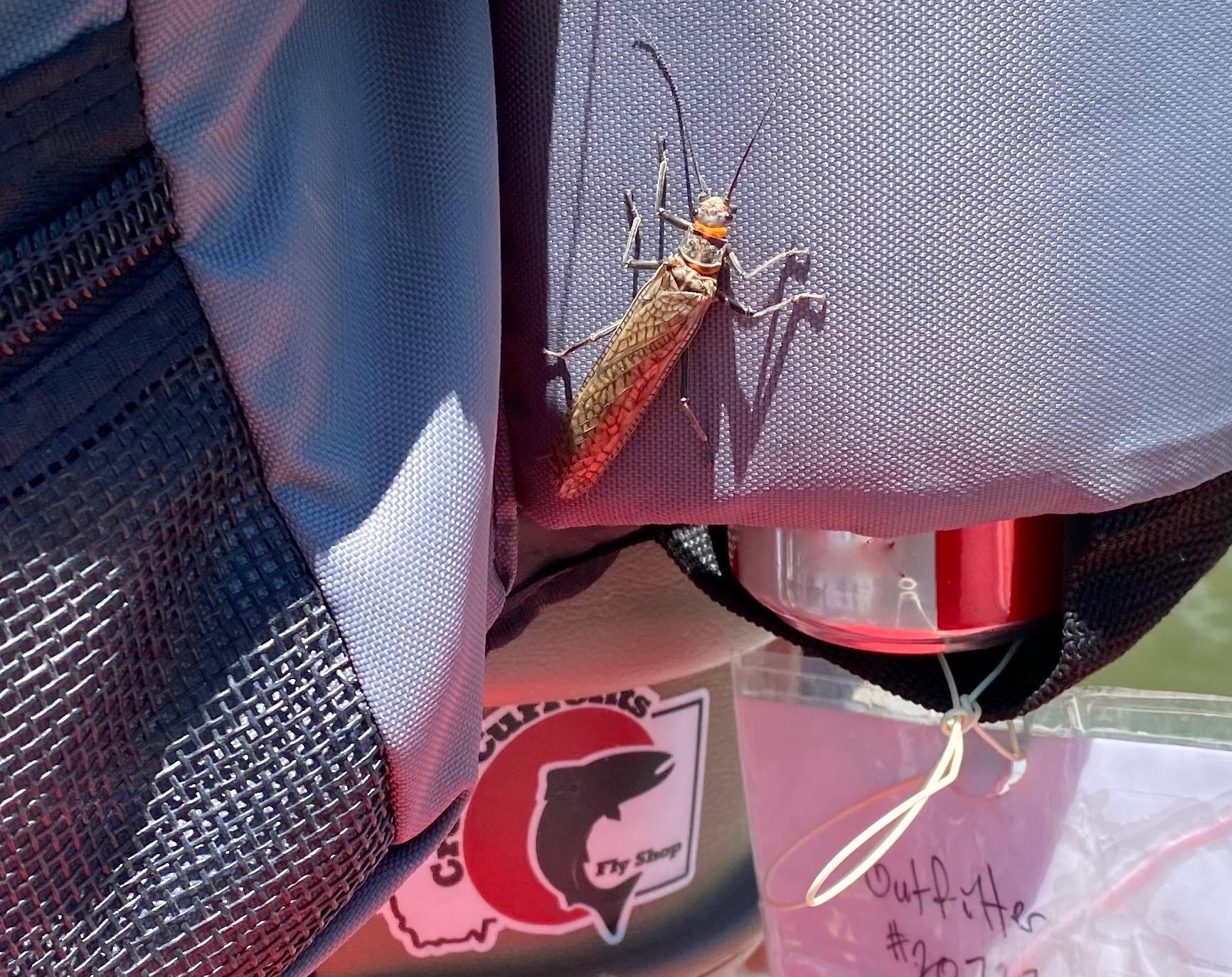 Salmonfly on the Blackfoot